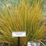 Libertia ixioides 'Goldfinger'